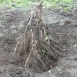 2011年6月23日 大槌川河川敷にて 力を合わせて抜いた木の根っこ